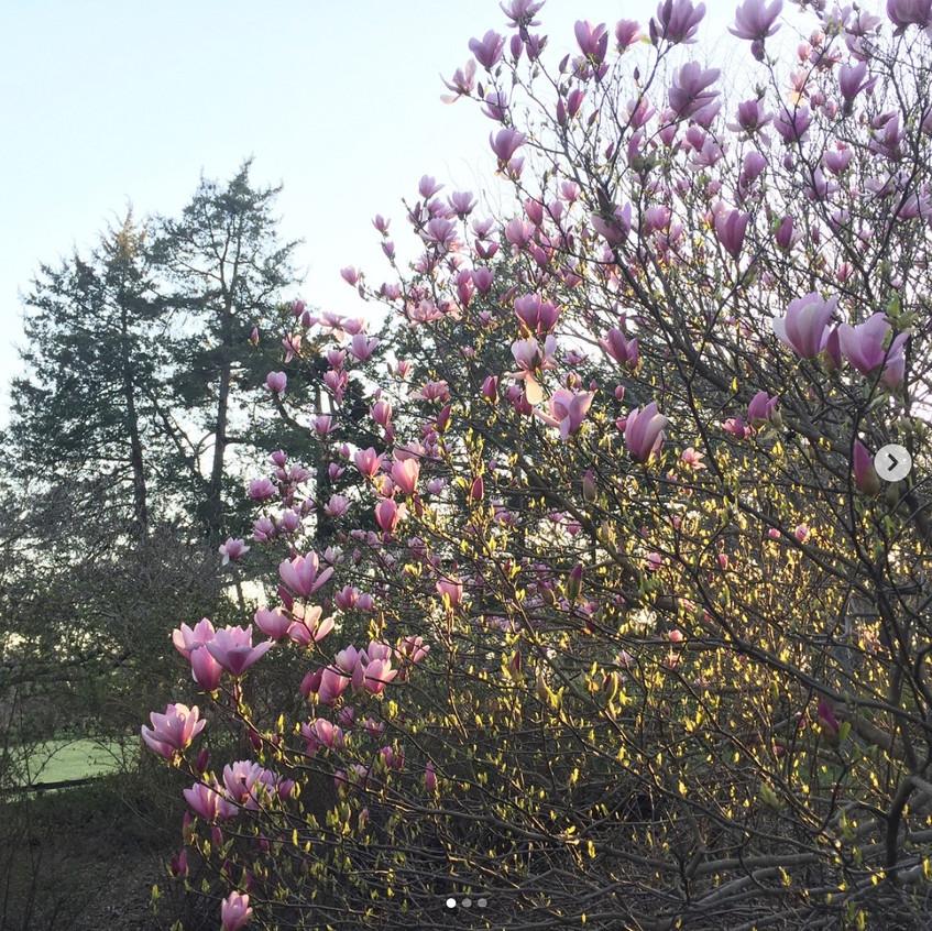 Magnolia at Monticello