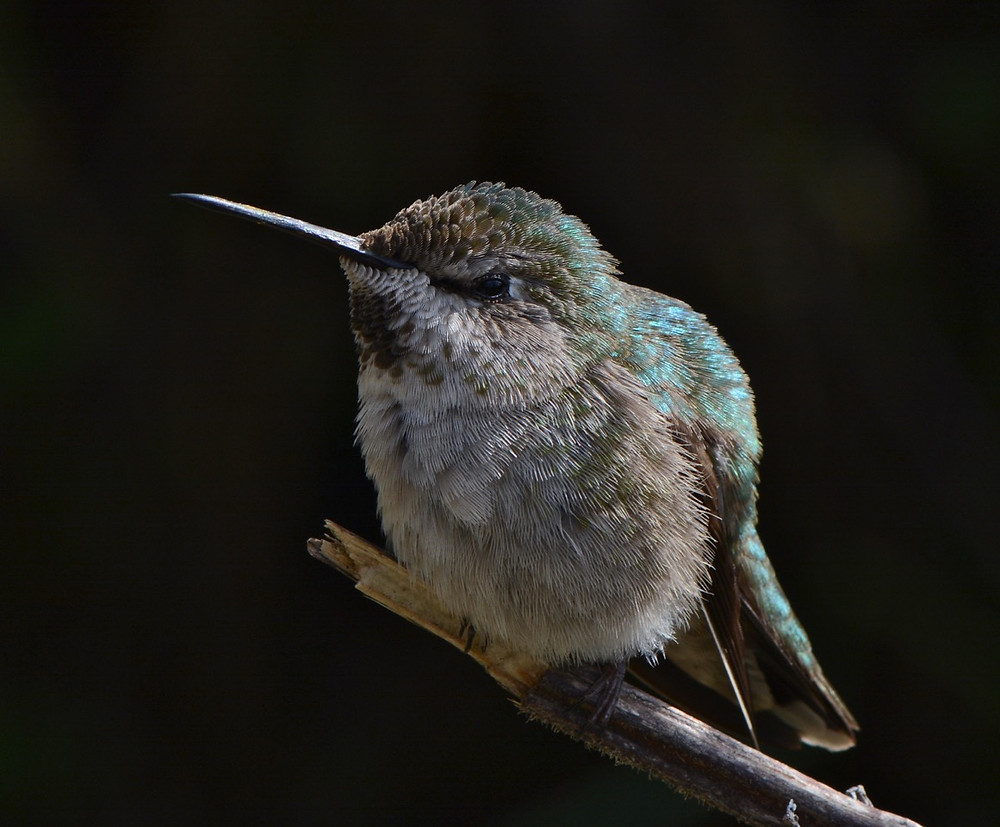 Anna's Hummingbird in Northern California Garden, photo by John Whittlesey. All Rights Reserved.