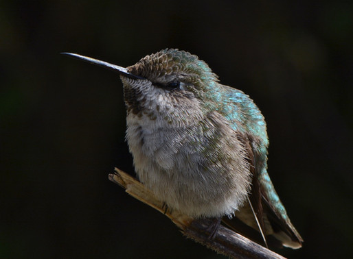 THE HUMMINGBIRD MONITORING NETWORK, with DR. SUSAN WETHINGTON