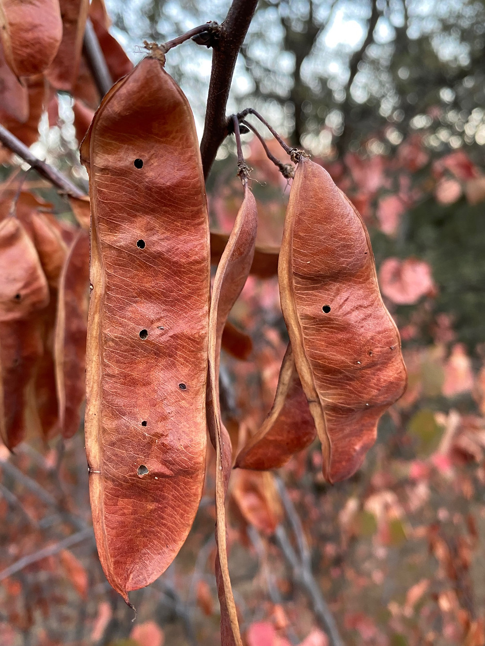 Staghorn sumac in winter dress, photo by Seabrooke Leckie, all rights reserved.