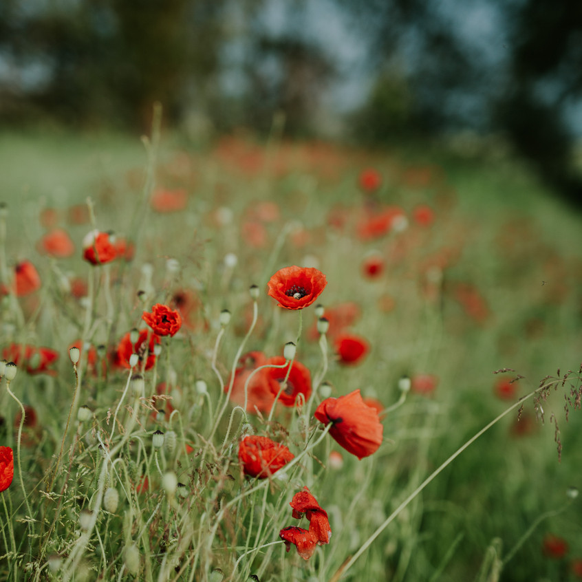 The Wild Red Poppies of Aero - Scenes from Sigridsminde - Images all by Camilla Jorvad. All Rights reserved.