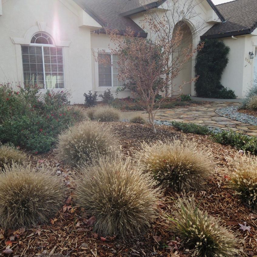 Laura's home garden: w/ Deer Grass