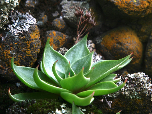 THE UNSETTLING CASE OF THE POACHED DUDLEYA, JULIE NELSON & MICHAEL KAUFFMANN