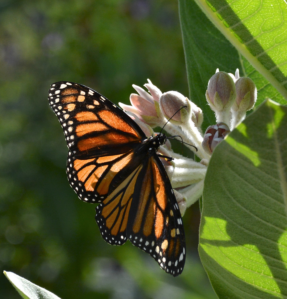 Monarch nectaring at Showy Milkweed. Photo by John Whittlesey, all rights reserved.