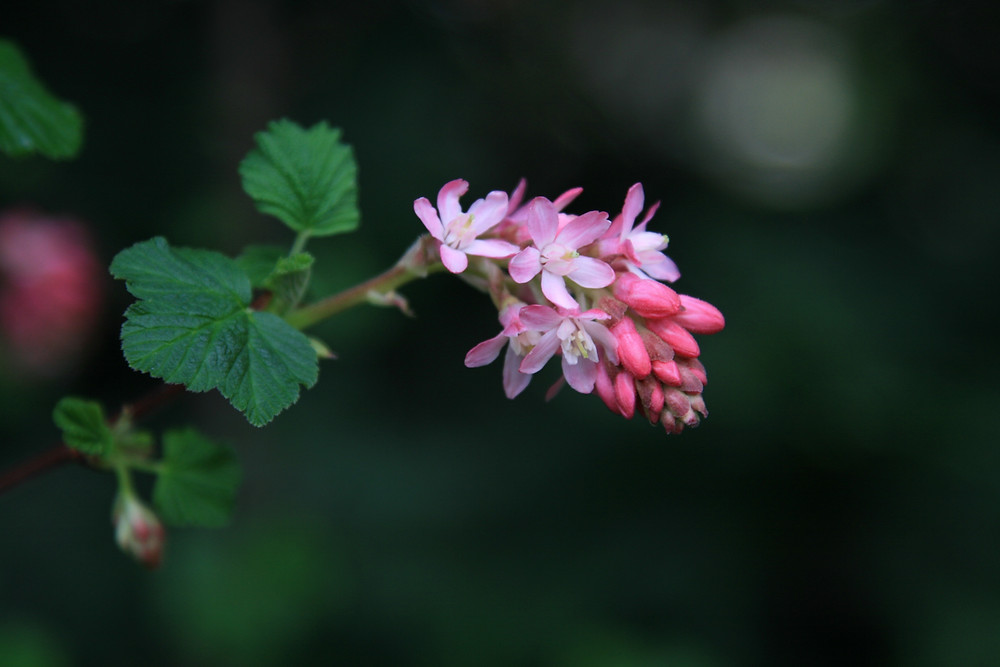 For the love of Flowering Ribes: some plants are old friends, some are still flames....