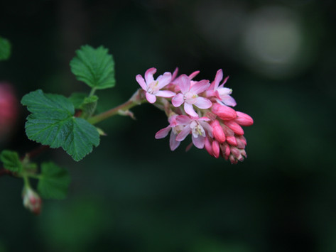 APRIL: R is for Ribes & Garden Literacy