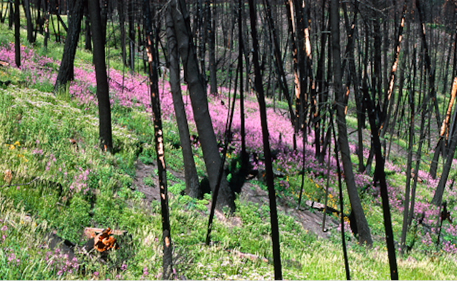 Yellowstone Fireweed, after fire