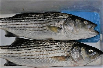 stripedbass.jpeg