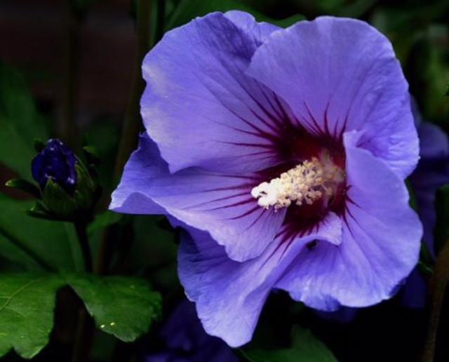 Rose of Sharon 'Hawaii'