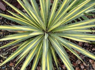 Adam's Needle Yucca