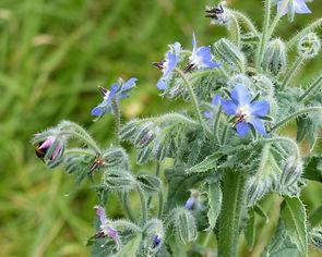 fleur bleue et bourdon.jpg