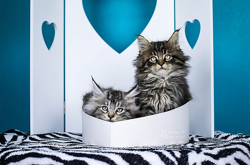 Maine coon Silver