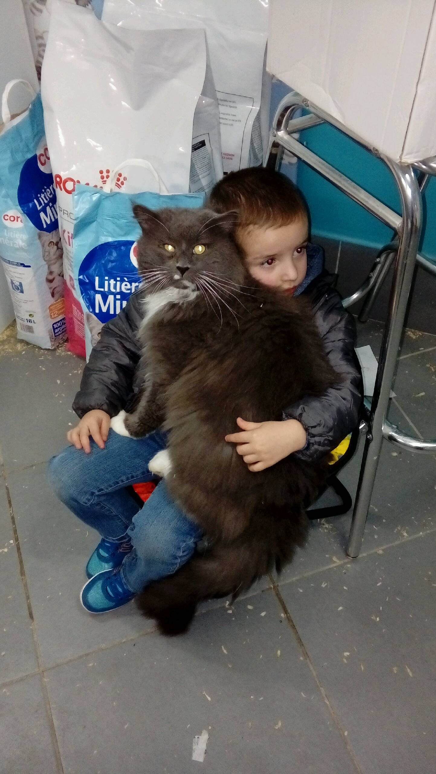 Gros chat Maine coon