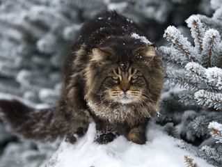 Le Maine Coon, un chat exceptionnel
