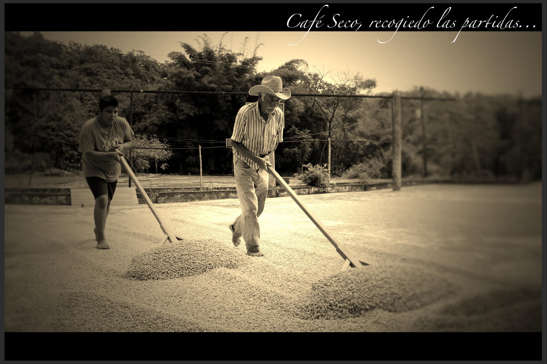 Recogiendo_las_partidas_de_café_seco.jpg