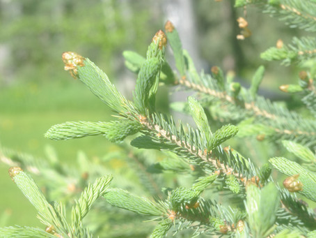 Spruce Tip Season