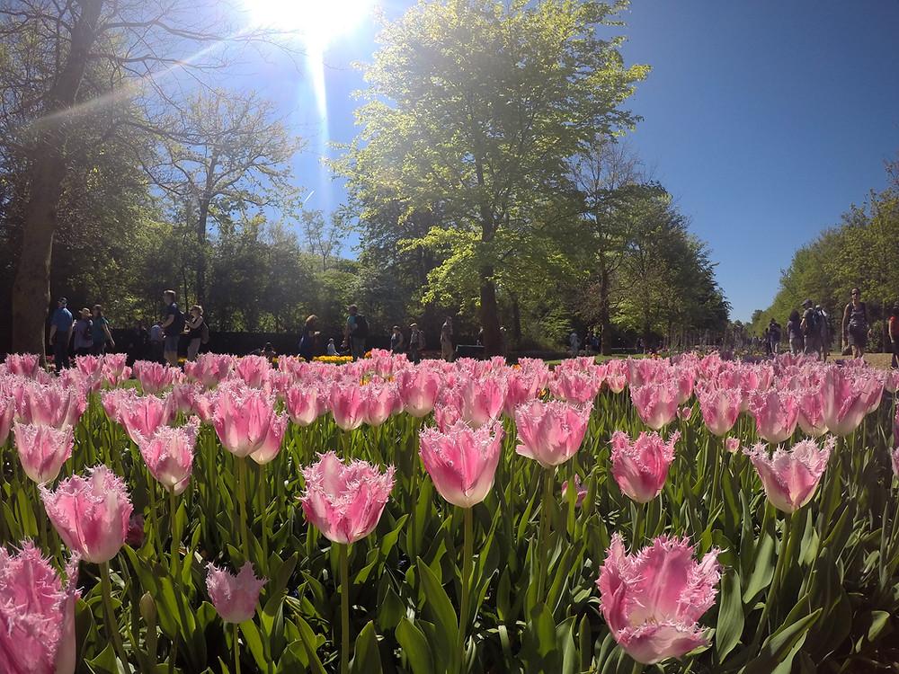 amsterdam, tulipanes, keukenhof