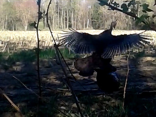 Check Out This Very Vocal And Angry Wild Turkey! [Video]