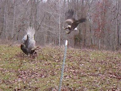 Golden Eagle Attacks Wild Turkey!