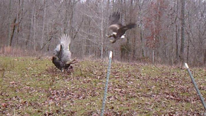 EagleTurkey1.jpg