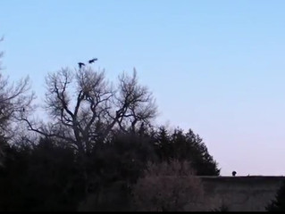 Incredible Sights And Sounds Of A Wild Turkey Flydown