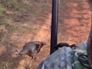 Amazing! Wild Hen Follows Hunter