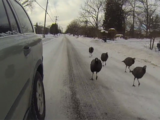 Turkeys Chasing Cars