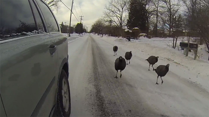 wild turkeys chasing cars during a Minnesota winter
