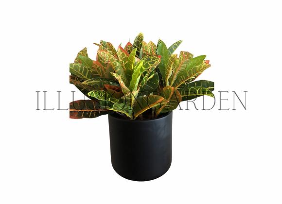 Planta Croton en maceta negra 20 cm