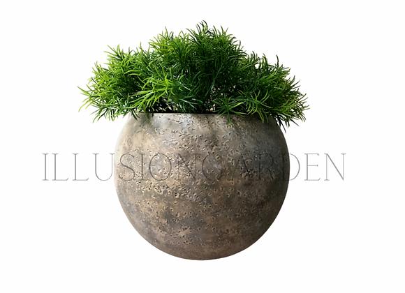 Planta Springeri en maceta redonda 20x16 cm