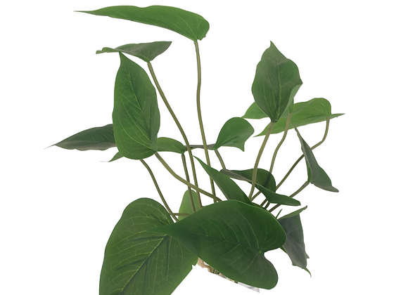 Planta Anturio