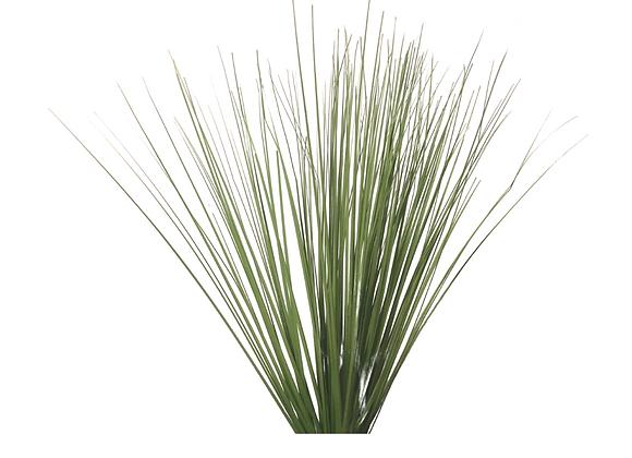 Planta Grass