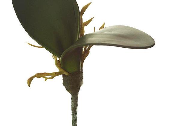 Hoja Mini Orquidea Phalaenopsis