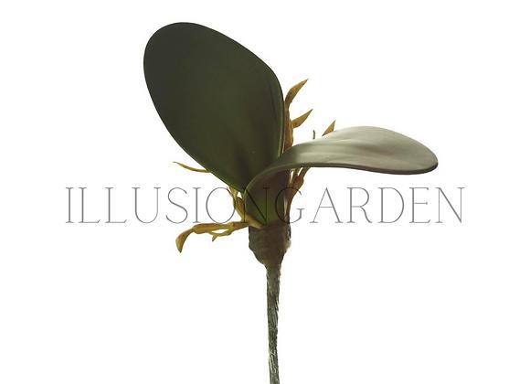 Hoja Mini Orquídea Phalaenopsis
