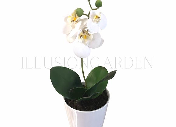 Orquidea Phaloenopsis pequeña