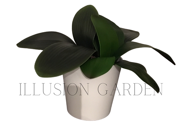 Planta Orquidea Phalaenopsis con maceta
