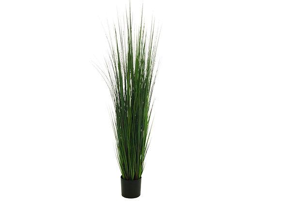 Planta Onion