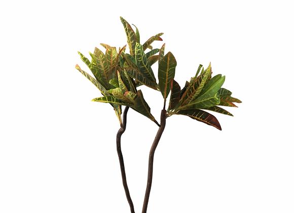 Planta Croto