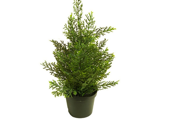 Cipres Cedar mini