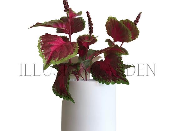 Planta Coleus en maceta blanca