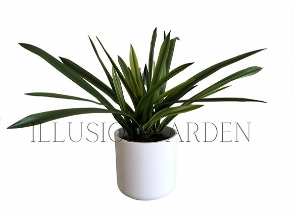Planta Cymbidium en maceta blanca