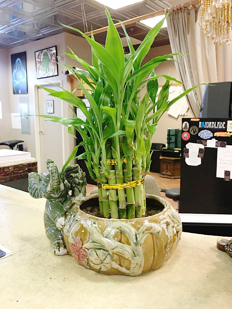 our bamboo plant