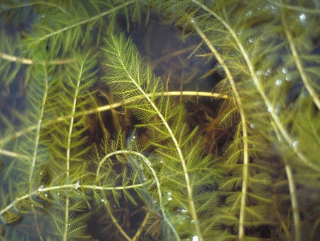 What is milfoil?