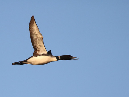 When do loons go for the winter?