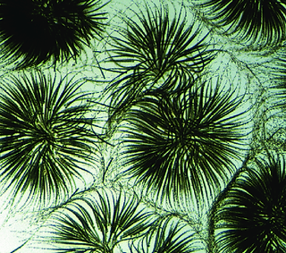 Gloeotrichia echinulata.png