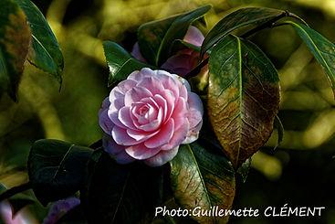 camélia rose