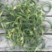 Ann Volkwein garlic scapes