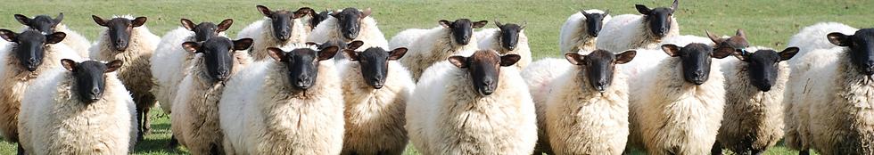 sheep and lamb feed block.png