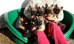 cuccioli  buoledogue francesi