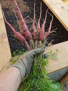 Purple carrots_edited.jpg